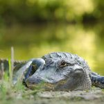 Stock photos of nature on campus. Alligators at Lake Alice.